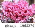 ピンクのレタス 1968279