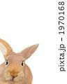 ネザーランドドワーフ 正月 小動物の写真 1970168