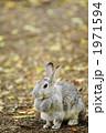 陸上動物 カイウサギ うさぎの写真 1971594