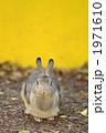陸上動物 カイウサギ うさぎの写真 1971610