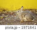 陸上動物 カイウサギ うさぎの写真 1971641