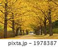 並木 並木道 銀杏並木の写真 1978387