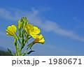 夜の花メマツヨイグサ 1980671