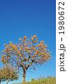 土手の柿の木 1980672
