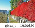 ドウダンツツジの真っ赤な生垣 1980680