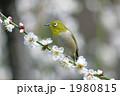 鳥類 梅 白梅の写真 1980815