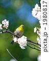 鳥類 梅 白梅の写真 1980817