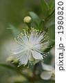ギンコウバイ ギンバイカ 銀梅花の写真 1980820