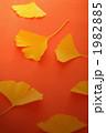 木ノ葉 イチョウ 枯れ葉の写真 1982885