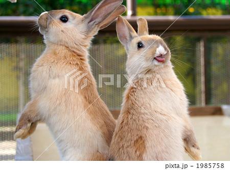 舌を出すウサギ 1985758