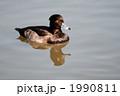 カモ 渡り鳥 一羽の写真 1990811
