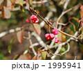 マユミの花実 1995941