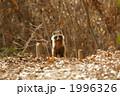 タヌキ 陸上動物 野生動物の写真 1996326