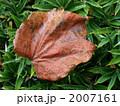 朝露(ツタ) 2007161
