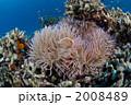 ハナビラクマノミ クマノミ 海水魚の写真 2008489