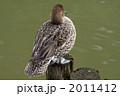 オナガガモ 尾長鴨 おなががもの写真 2011412