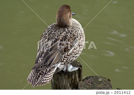 休息中の尾長鴨 雌 2011412