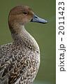 オナガガモ 尾長鴨 おなががもの写真 2011423