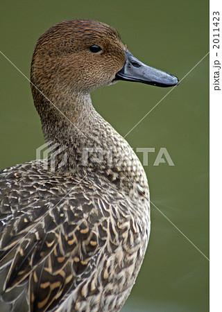 休息中の尾長鴨 雌 2011423
