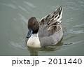 オナガガモ 尾長鴨 おなががもの写真 2011440