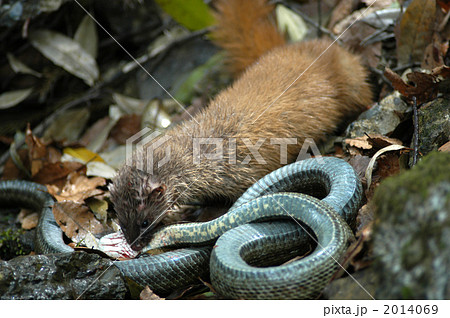 イタチ、蛇を捕食