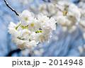 八重咲き 八重桜 ヤエザクラの写真 2014948