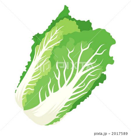白菜 はくさい 淡色野菜のイラスト素材 [2017589] - PIXTA