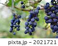 葡萄 ブドウ フルーツの写真 2021721