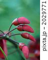カイコウズ 海紅豆 アメリカ梯梧の写真 2029771