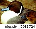 渡り鳥 オナガガモ カモの写真 2033720
