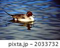 泳ぐ オナガガモ 渡り鳥の写真 2033732