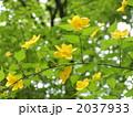 ヤマブキ 山吹 山野草の写真 2037933