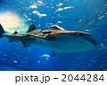 海の中の王者~ジンベイザメ~ 2044284