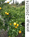 みかん 果樹園 ミカンの写真 2045074