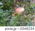 夜間開花 ゲッカビジン サボテンの写真 2046234