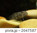 フィッシュイーター ヨシノボリ 淡水魚の写真 2047587
