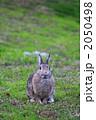 ネザーランドドワーフ 陸上動物 小動物の写真 2050498