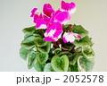 シクラメンの花 2052578