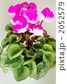 シクラメンの花 2052579