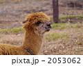 家畜 アルパカ あるぱかの写真 2053062