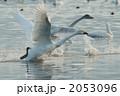 飛び立ち 渡り鳥 白鳥の写真 2053096