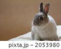 ネザーランドドワーフ 動物 陸の哺乳類の写真 2053980