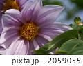 皇帝ダリア コウテイダリア 木立ダリアの写真 2059055