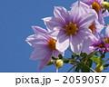 皇帝ダリア コウテイダリア 木立ダリアの写真 2059057