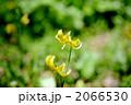 黄花片栗 2066530