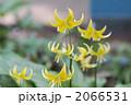 黄花片栗 2066531