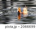 渡り鳥 ヒドリガモ 緋鳥鴨の写真 2066699