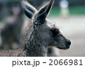 グレーカンガルー 陸上動物 カンガルーの写真 2066981