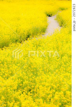 菜の花の小道 2072823