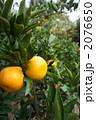 みかん ミカン ミカン畑の写真 2076650